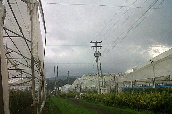 Rain at the Flower Farms