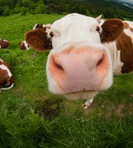 Cute Cow Smile