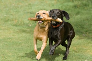cute dogs sharing a stick