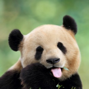 Panda Sticking Out Tongue