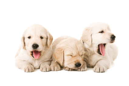 Tired Yawning Puppies