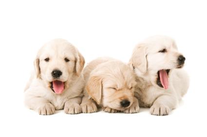 Tired Yawning Puppies