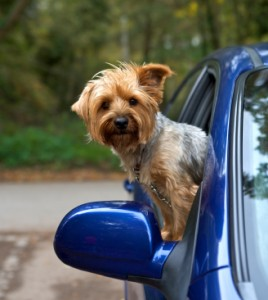 Cute yorkie riding in a car