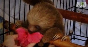 baby sloths eating hibiscus flowers