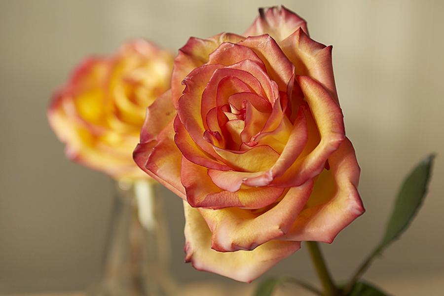 Wax rose