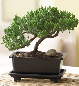 green-mound-juniper-bonsai