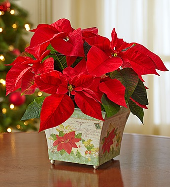 Holiday-traditions-poinsettia