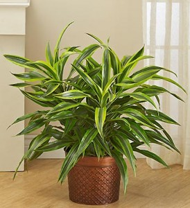 dracaena-floor-plant-winter-care-101073z