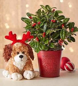 joy-to-the-world-holly-plant