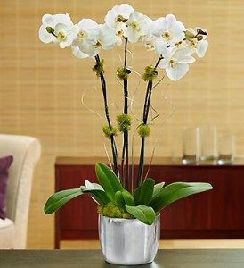 Silver Celebrations Orchids