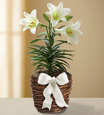 easter-sentiments-sympathy-lily-plant-18115