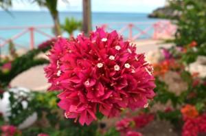 Bougainvillea Blossom on Maho Beach, St Maarten