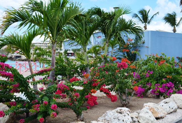 Bougainvillea on Maho Beach, St Maarten