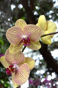 Yellow and Purple Orchids