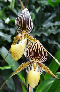 Brown and Yellow Striped Orchids