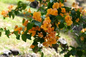 Orange Bougainvillea Vine in Soufriere, St Lucia