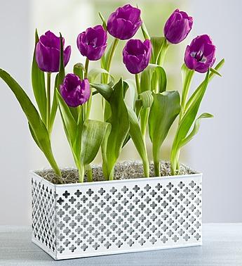 Signature Purple Tulips