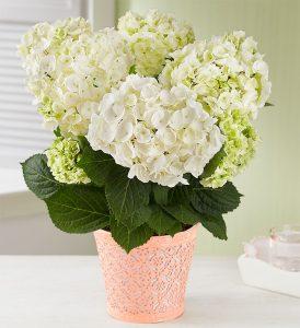 summer-flowers-hydrangea-plant