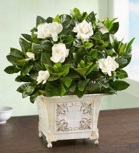 summer-flowers-gardenia-plant