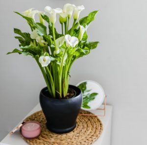 calla-lily-summer-flowers