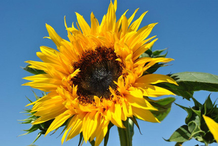 Towering Sunflower in a Field