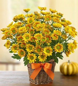 fall-mums-how-to-care-for-mums.jpg