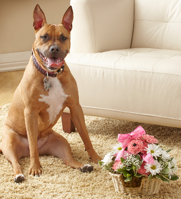 Reese, 1 year-old, Pit Terrier-Boxer Mix with the Princess Paws™ a-DOG-able!®