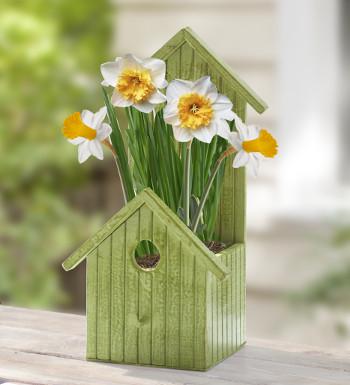 daffodil-plant