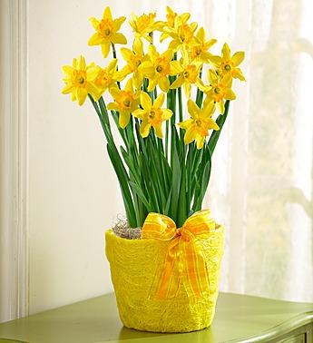delightful-daffodil