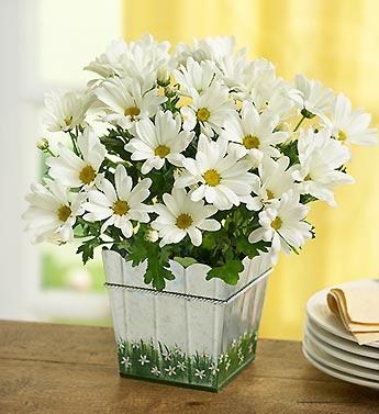 happy-daisy-18648