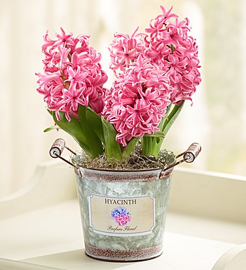 heavenly-hyacinth-101472