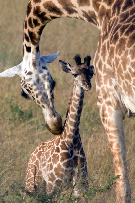 giraffe-mom-and-giraffe-baby-000039319326
