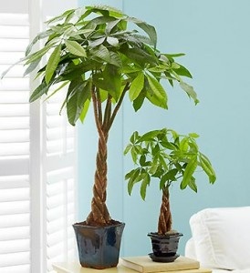 father-in-law-gift-ideas-money-tree
