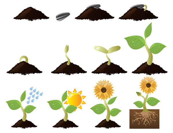 sunflower-life-cycle-growth