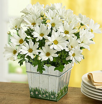 flowers-that-come-in-white-daisies