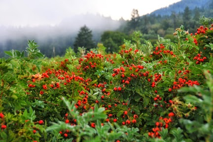 sun-valley-farms-rose-hips