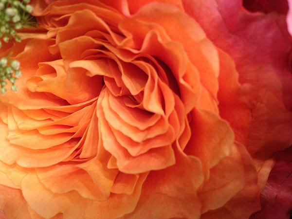 free-spirit-rose