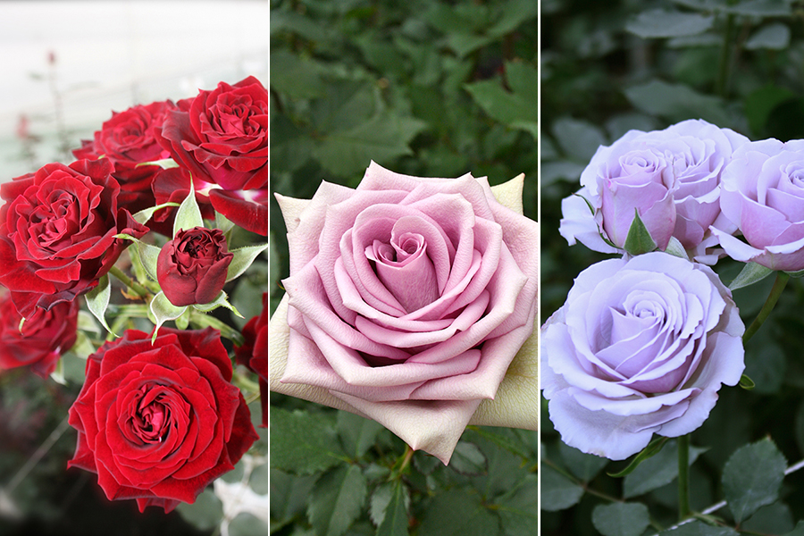 a-passion-for-roses