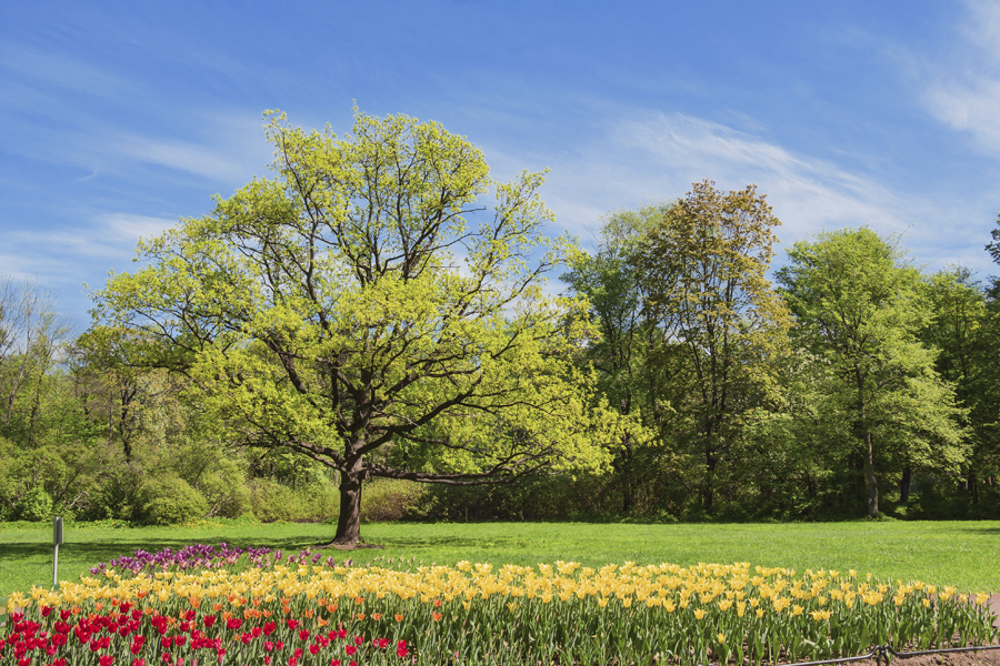 arbor-day-trees-with-tulips