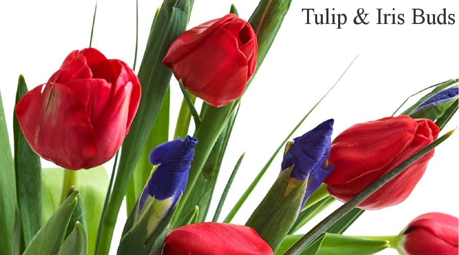 Tulip Buds & Iris Buds