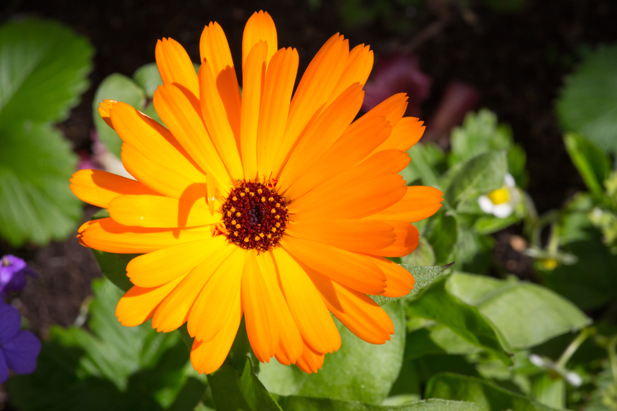 October Birth Flower- Orange Calendula Flower