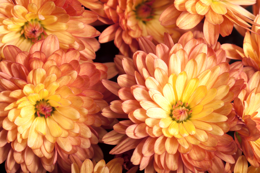 Burnt Orange Chrysanthemums