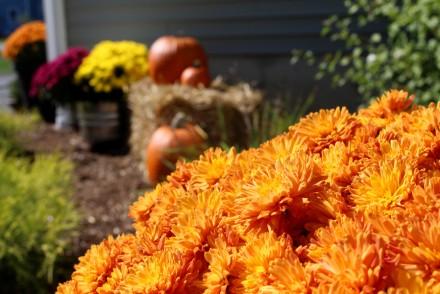 pumpkin-mums
