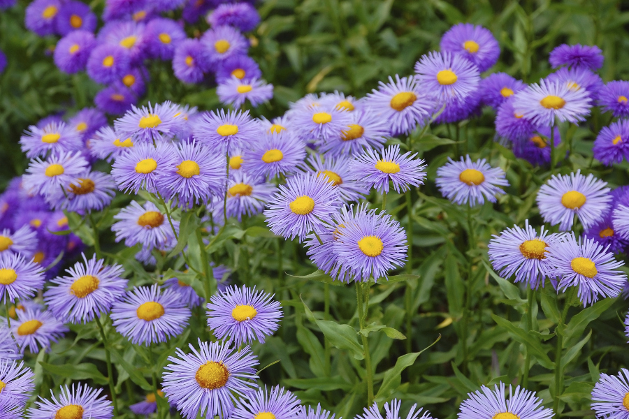 September Aster Birth Flower