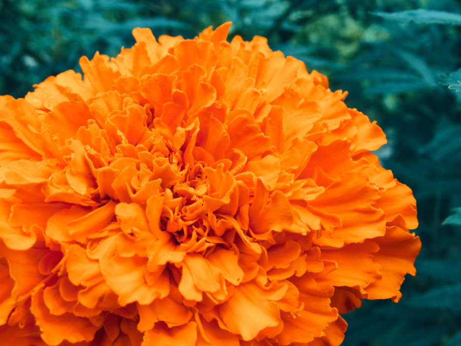 Cempazuchitl (Marigold) Flower for Day of the Dead