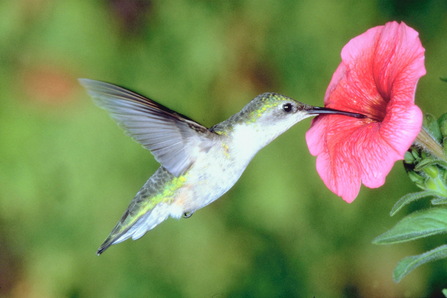 Hummingbird with Hibiscus flower