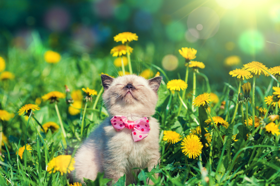 Cute Kitten Wearing Bow Tie in Dandelions