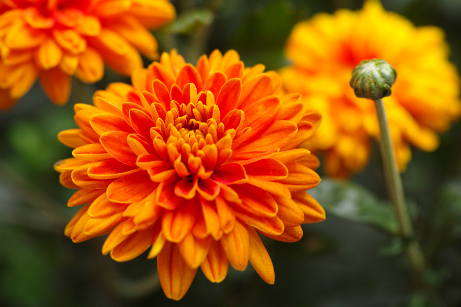 Orange chrysanthemums with water drops in nature.
