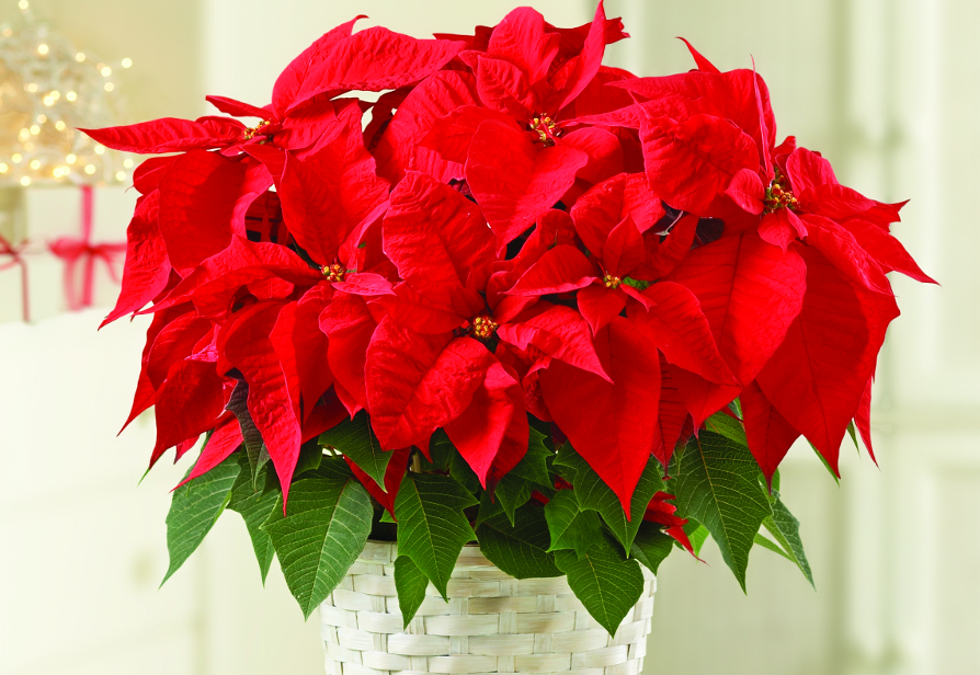 Poinsettia- The December Birth Flower