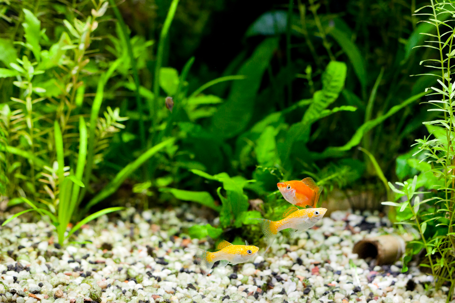 Molles and Swordtail In Tropical Aquarium